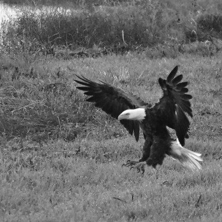 Robinson Nature Preserve: Bald Eagle descending on prey.
