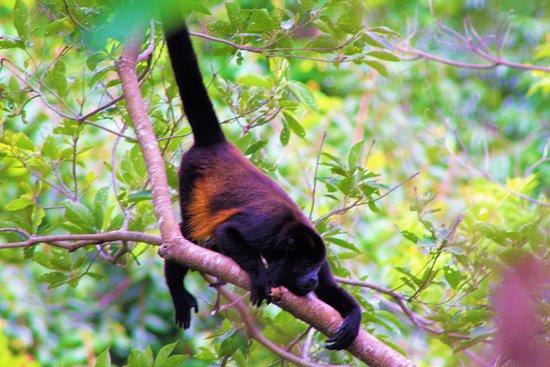 Boca Chica, Panama: Howler Monkey