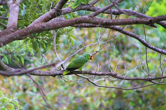 Boca Chica, Panama: Red Lored Parrot