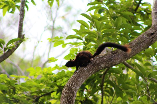 Boca Chica, Panama: Black Squirrel about to launch !