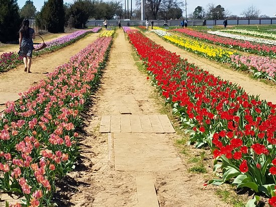 Texas Tulips: Baskets are provided