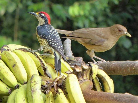 Chachagua Rainforest Eco Lodge: Birds