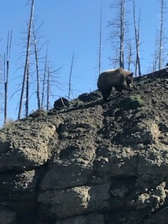 Cody Shuttle Service and Yellowstone Tours: Bears, OH MY!