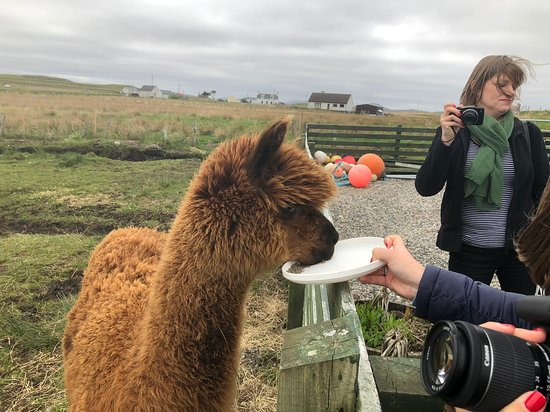 Callanish Alpacas: Fun feeding