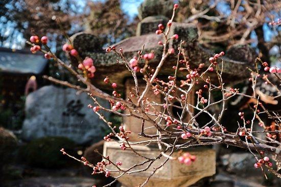 Imamiya Shrine: Cherry blossom