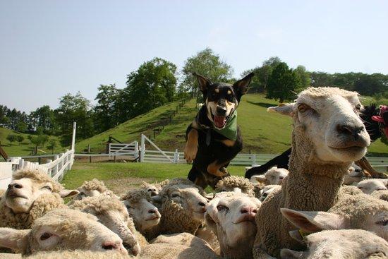 Shibukawa, ญี่ปุ่น: シープドッグショー 伊香保グリーン牧場一番お勧めのイベント 訓練された牧羊犬が放牧場に広がる100頭以上の羊の群れを集めてくる様子は圧巻です