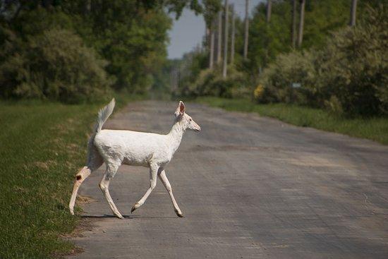 Romulus, نيويورك: white tail deer