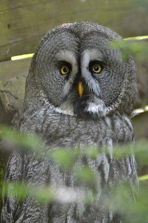 Le Bois des Aigles: Chouette Lapone,