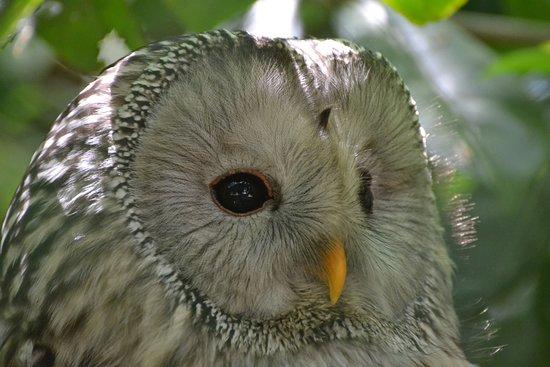 Le Bois des Aigles: Chouette de l'Oural,
