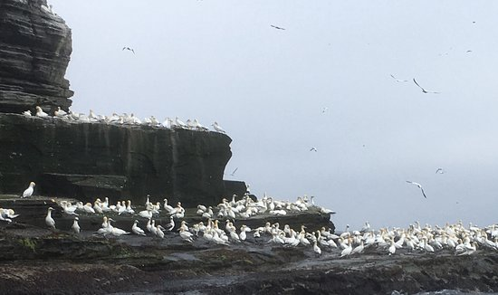 Seabirds-and-Seals: Gannets