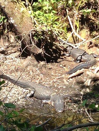 Copeland, FL: gators on the east Tram trail