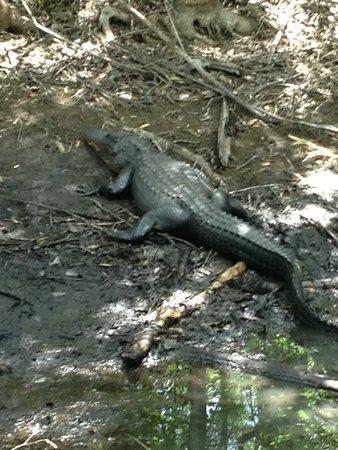 Copeland, FL: gator on the east tram trail