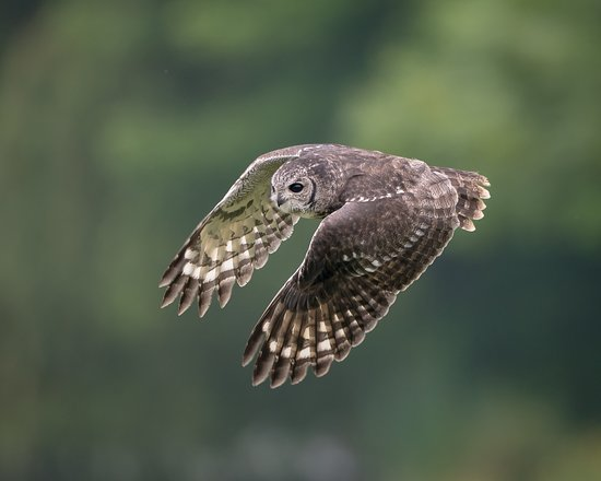 Newent, UK: Abyssinian owl during one of the 3 daily flying displays