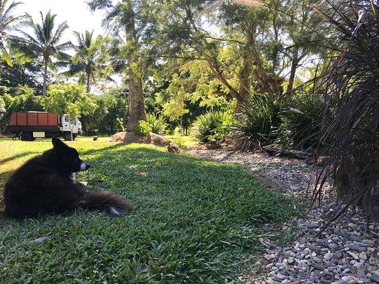 Redlynch, Avustralya: one of the dogs