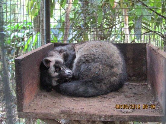 Satria Coffee Plantation: wild civet, poos coffee beans at night