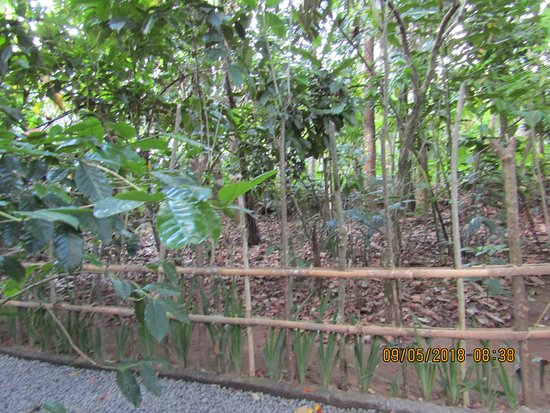 Satria Coffee Plantation: coffee plantation