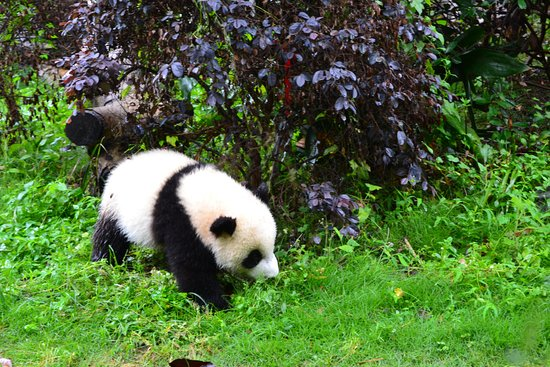 Private Chengdu Day Tour: Giant Pandas and the Jinsha Site Museum: Panda in a tree