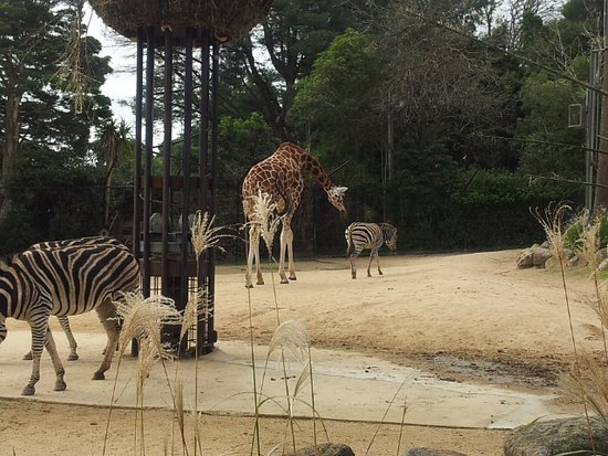 Melbourne Zoo: Famous Giraffe and Zebra are best buddies