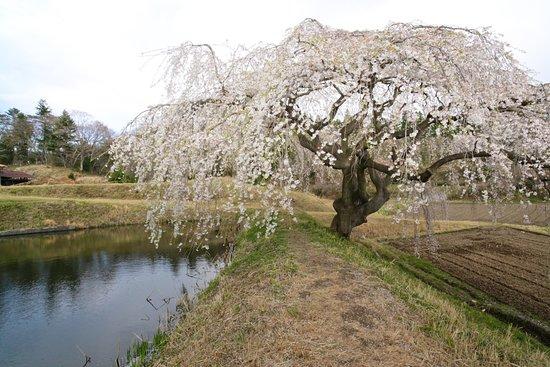 Hanazono no Shidare Sakura