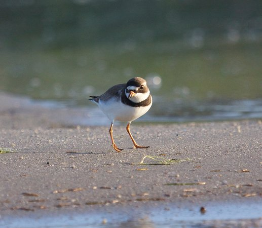 Ride the Wind: Early morning light is awesome...semipalmated plover