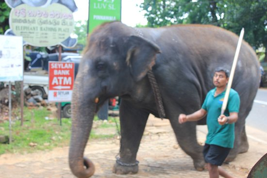 Pinnawala Elephant Orphanage: The 'poking man'