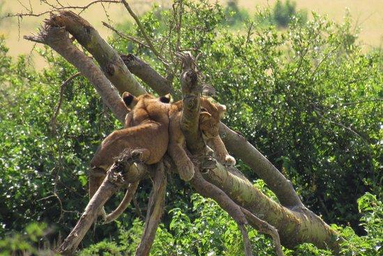 Instinct Safaris Limited: Tree climbing lions in Queen Elisabeth Park