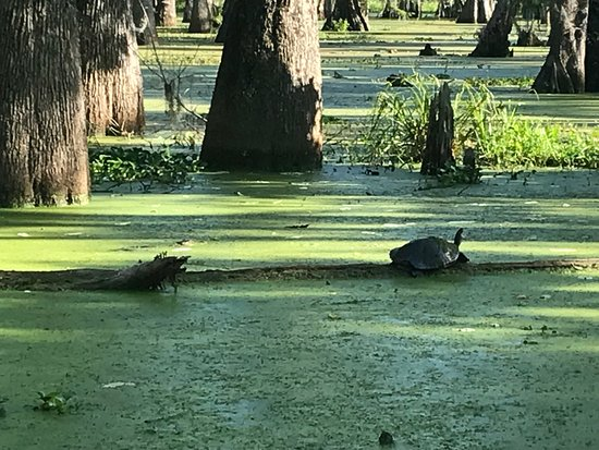 Champagne's Cajun Swamp Tours: Gator and Turtle