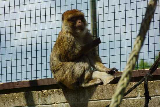 Monkey Haven: barbary macaque