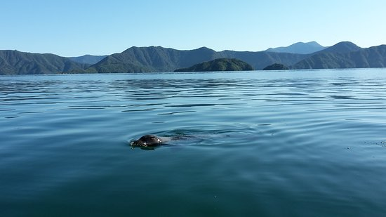 Marlborough Sounds, New Zealand: Fellow traveller
