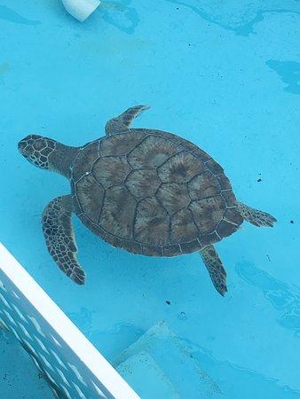Juno Beach, FL: Turtle