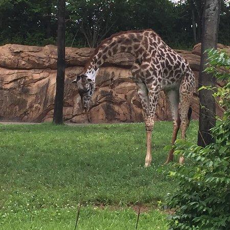 Nashville Zoo Resmi