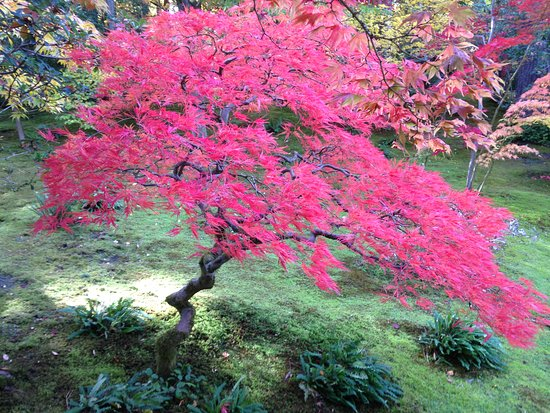 Fall Colors In A Maple Tree Picture Of Seattle Japanese Garden