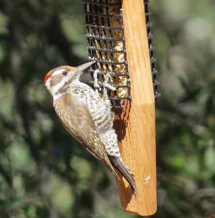 Madera Canyon, AZ: Bird feeding area of lodge - Arizona Woodpecker