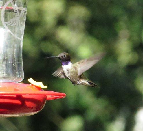 Madera Canyon, AZ: Bird feeding area of lodge - Black-chinned Hummingbird