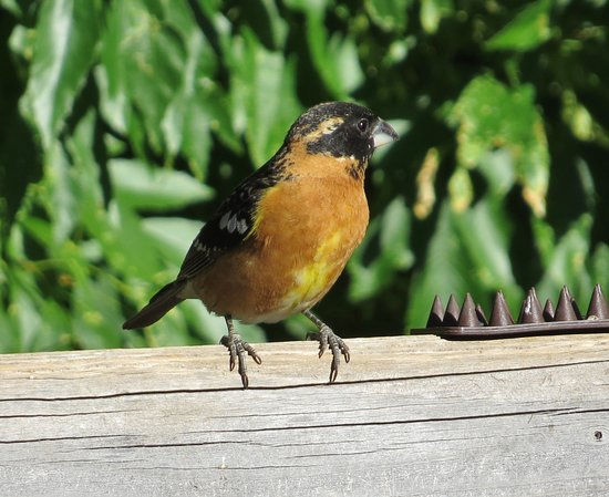 Madera Canyon, AZ: Bird feeding area of lodge - Black-headed Grosbeak