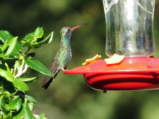 Madera Canyon, AZ: Bird feeding area of lodge - Broad-billed Hummingbird