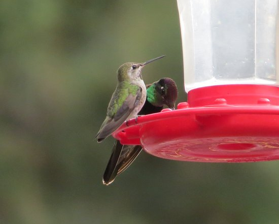 Madera Canyon, AZ: Bird feeding area of lodge - Rivoli's Hummingbird in back