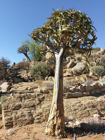 Keetmanshoop, Namibia: tree Quiver