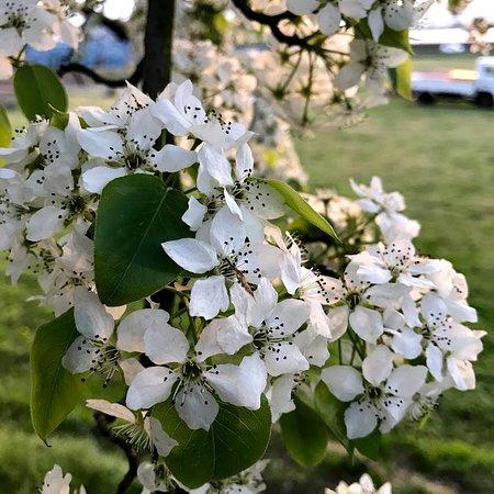 Hita, Japan: 梨の花、花も香りもよい 初見の花マジマジ