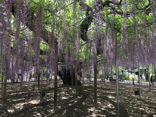Ashikaga Flower Park: Purple Wisteria