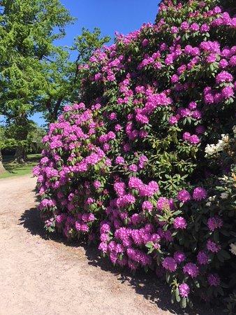 โซฟิเอโร สล็อตต์: Rhododendron i full blomning.