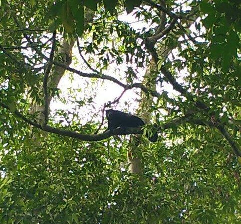 Piro Jungla Conservation Ecotours: mono aullador