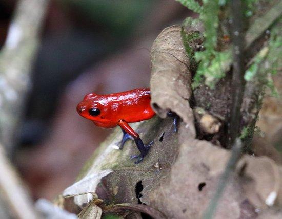 Tirimbina Rainforest Lodge: Strawberry Poison Dart Frog on trail