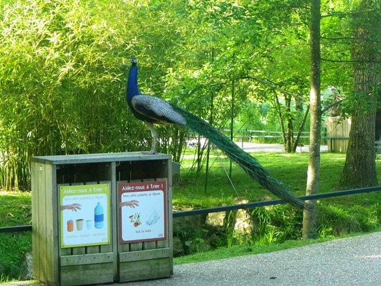 Billet d'entrée pour le ZooParc de Beauval : Paon en liberté
