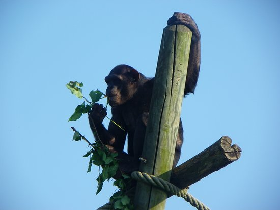Billet d'entrée pour le ZooParc de Beauval : chimpanzé