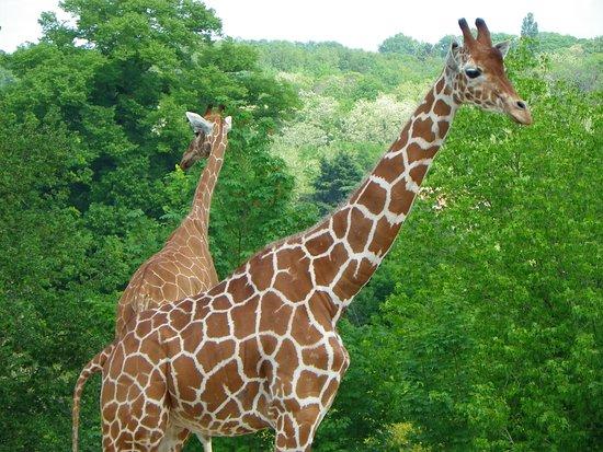 Billet d'entrée pour le ZooParc de Beauval : girafe