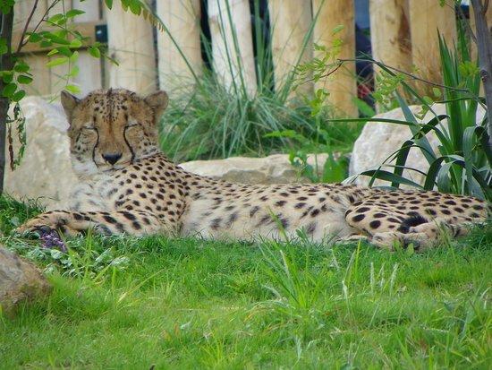 Billet d'entrée pour le ZooParc de Beauval : leopard