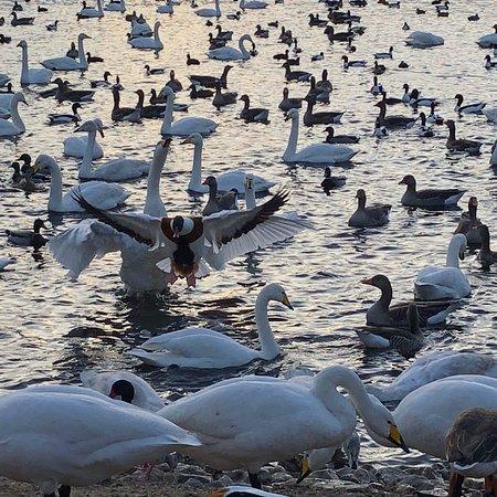 Burscough, UK: Feeding time for the whopper swans
