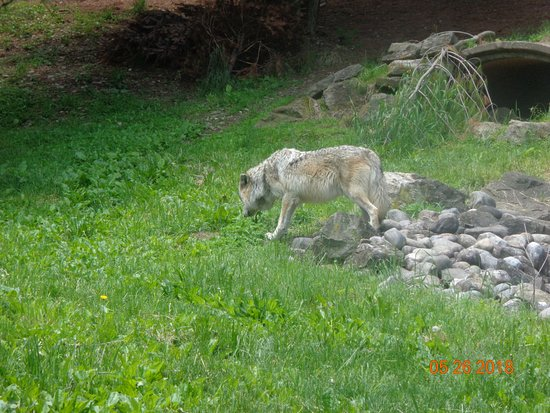 Lehigh Valley Zoo: Mexican Gray Wolf