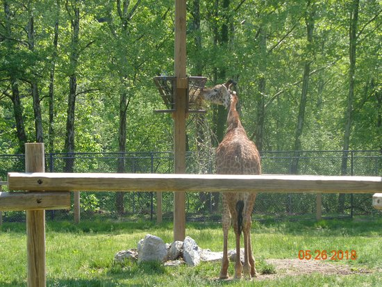 Lehigh Valley Zoo: The 2 year old giraffe- can't remember the giraffe's name